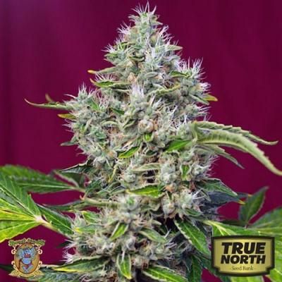 Image of San Fernando Lemon Kush seeds