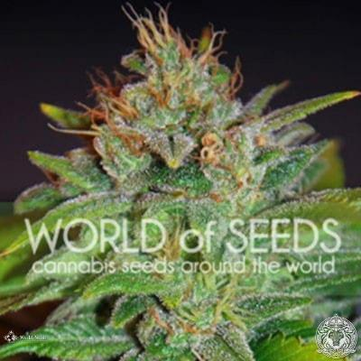 Image of Skunk 47 seeds