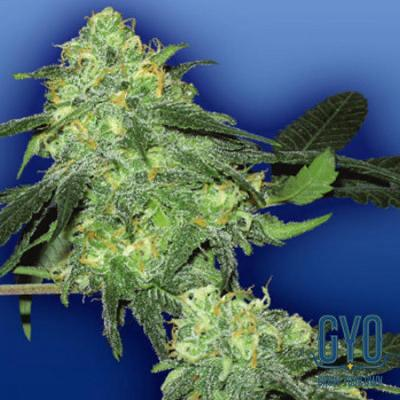 Image of Skunk Classic seeds