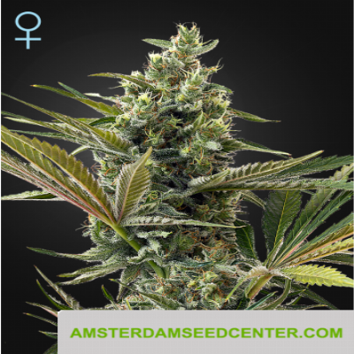 Image of Super Lemon Haze CBD seeds