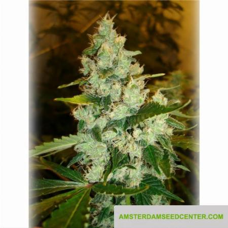Image of Super Sour Skunk