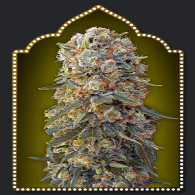 Image of Sweet Critical