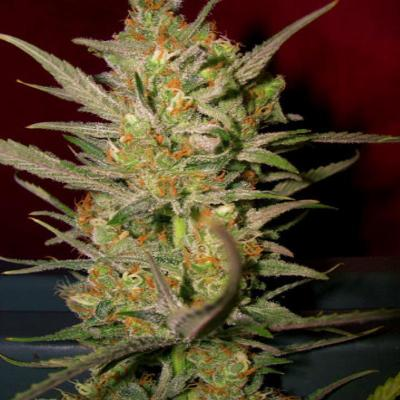 Image of Sweet Haze