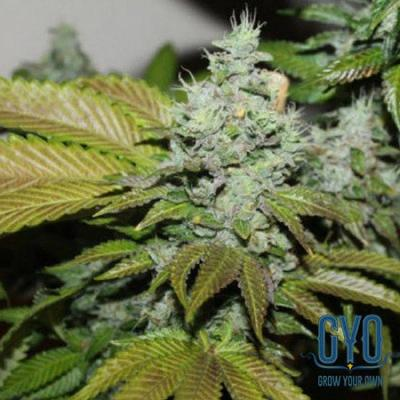 Image of Triangle Kush Cookies seeds