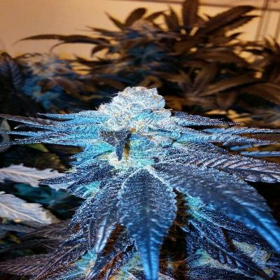 Image of Viper Cookies seeds