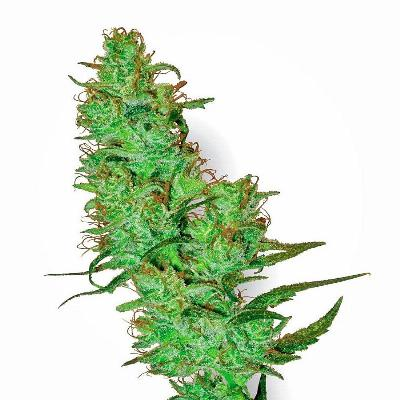 Image of White Label Jack Herer