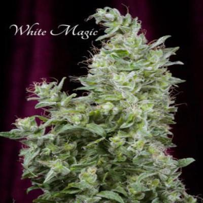 Image of White Magic seeds
