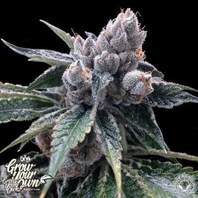 Image of White Walker Kush