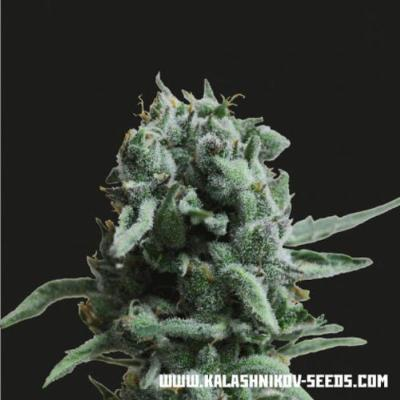 Image of White Widow 47 seeds