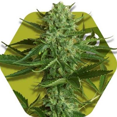 Image of White Widow Haze seeds