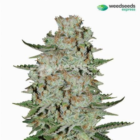Image of White Widow