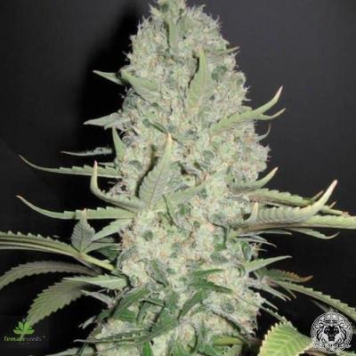 Image of White Widow x Big Bud seeds