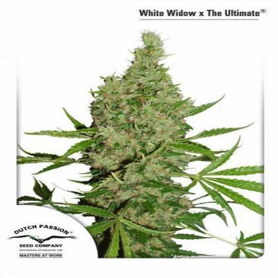 Image of White Widow x The Ultimate seeds