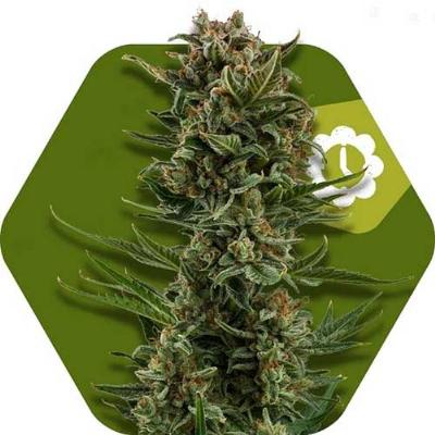 Image of White Widow XL seeds