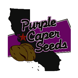 Image of Purple Caper Seeds